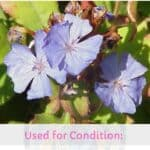 Cerato in Bach flower therapy : properties, benefits, uses