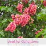 Red Chestnut in Bach flower therapy : properties, benefits, uses